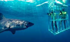 Cage Diving with Great White Sharks - Cape Town