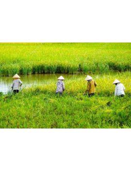 Excursión a los cultivos de arroz